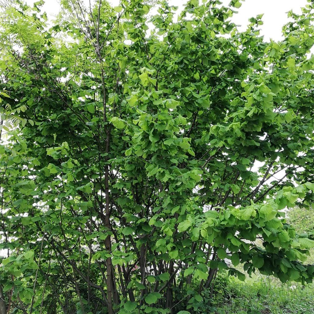 Türkiye'de Yetişen Ağaç Türleri (Çeşitleri) ve Özellikleri Nelerdir?