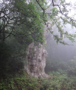 Japonya'nın en büyük kozalaklı ağacı