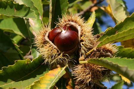 Kestane Ağacı Meyvesi (Yemişi)