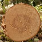 Ağaç Halkaları İklimi Öğrenmemizi Sağlıyor