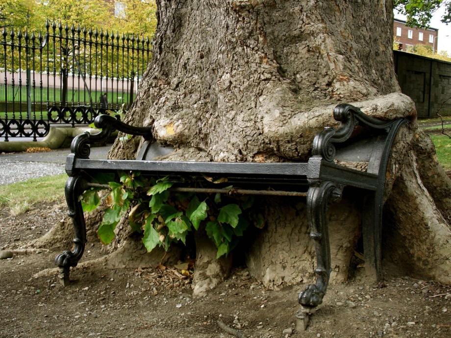 Bankı sımsıkı sahiplenmiş bir ağaç