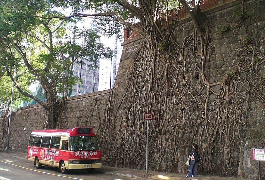 Adeta duvara yuva yapmış, muhteşem kökleri ile ben buradayım diyen bir ağaç