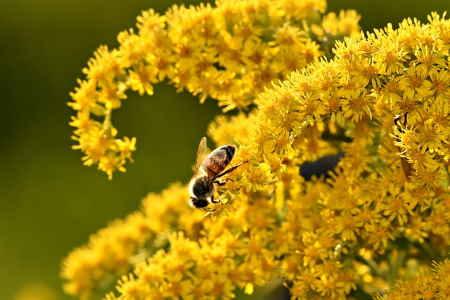 Altınbaşak çiçeği polenlerinin protein miktarı yükselen karbondioksit miktarı ile  düşüyor!