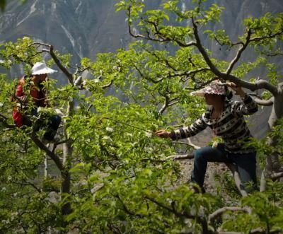 Arıların faydaları arasında yer alan tozlaşmayı çevre kirliliğinden ve arıların sayısının azalmasından dolayı Çin'in bazı bölgelerinde insanlar yapıyor.