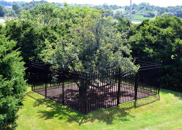 Dünyanın en yaşlı meyve ağacı