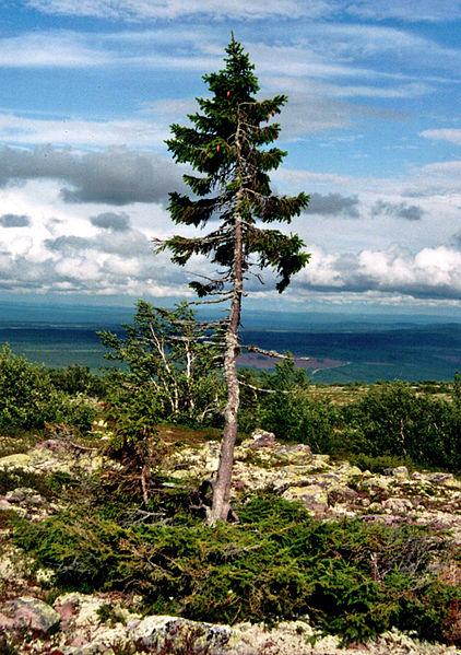 Dünyanın en yaşlı tekil ağacı