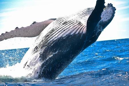 Balinalar Neden Bu Kadar Büyüktür?