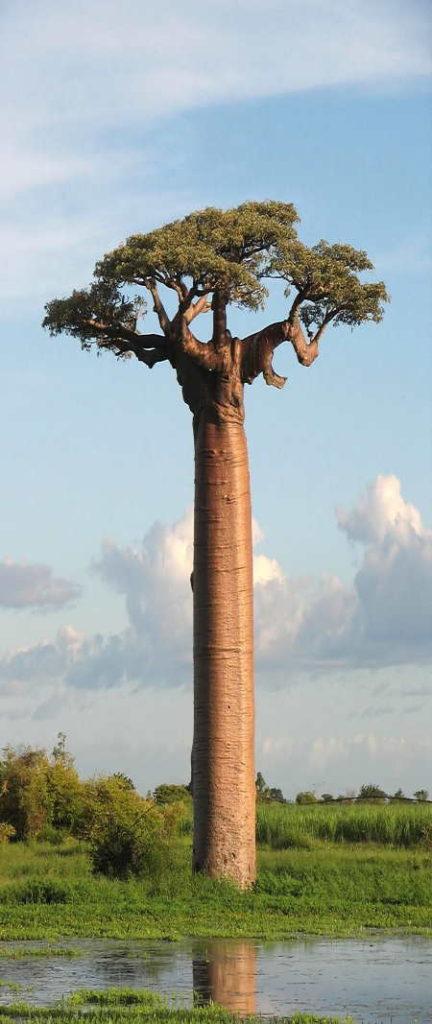 Baobab Ağaçları İklim Değişikliğine Yeniliyor!