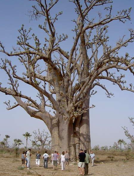 Baobab Ağacı: Dünyanın En Uzun Yaşayan Ağaçları Kurtarılmayı Bekliyor