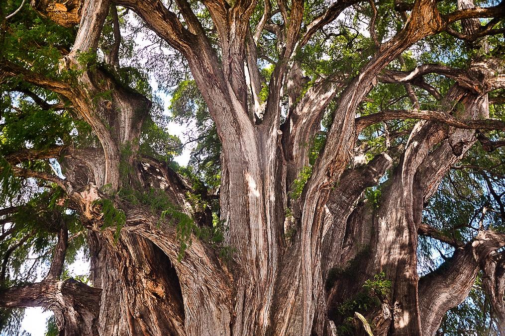 Dünyanın en kalın ağacı