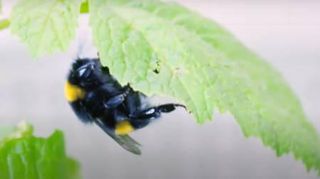 Bombus Arıları bitki yapraklarını ısırarak erken çiçek açmasını sağlıyor.