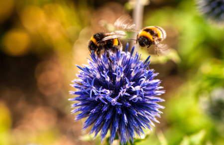 Bombus Arısı Özellikleri Nelerdir? Bombus Arılarının Faydaları Nedir?