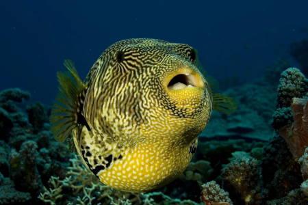 Balon balıkları, Kızıldeniz'e ait olan istilacı bir balık türüdür.