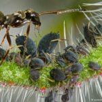 Karıncalar Kahve Yetiştiriyor!