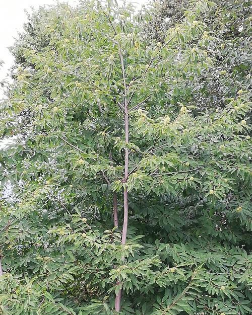 Kestanenin Faydaları Nelerdir? Kestane Ağacı Nasıl Yetiştirilir?