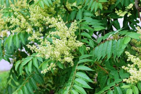 Cennet ağacı, aylandız yada kokar ağaç olarak bilinir. Çin'e özgü bir hızla büyüyen yaprak döken ağaçtır. Kuzey Amerika, Avrupa ve Türkiye'de de yaygın bir istilacı tür haline gelmiştir. Her şehirde, çok farklı noktalarda hızla çoğalıp ufak ufak ormanlar oluşturmaya başladığını görebilirsiniz. Görsel olarak güzel gelse de, istilacı bir ağaç türüdür.