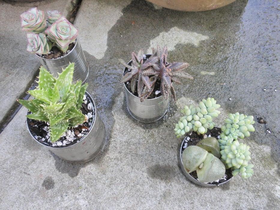 Konserve kutularından saksı yaparak mini bir bahçe yapabilirsiniz.