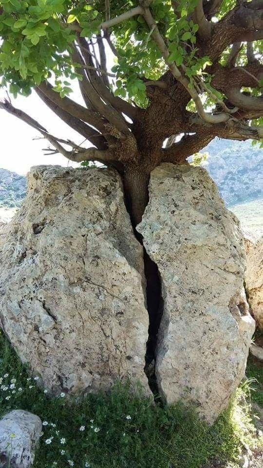 Ağaçların Yaşama Tutunma Azimleri