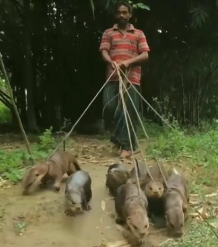 Bangladeşte Su Samurları ile Balık Avcılığı