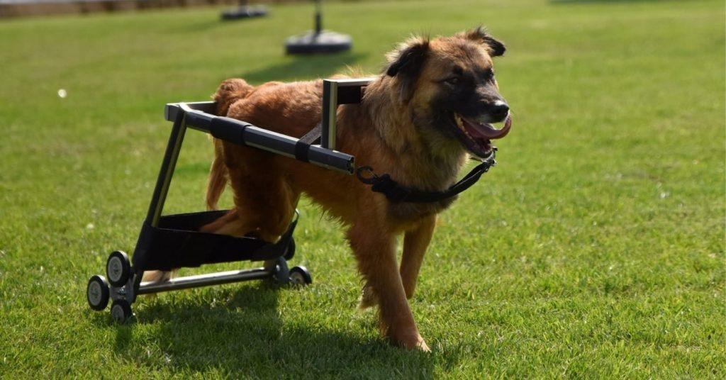 Vestel'den engelli hayvanlar için yürüteç.